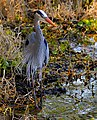 Great Blue Heron at Blue Spring State Park - Flickr - Andrea Westmoreland.jpg