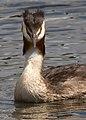 Great Crested Grebe (6002179322).jpg