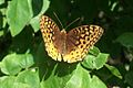 Great Spangled Fritillary.jpg