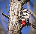 Great spotted woodpecker (49836629077).jpg