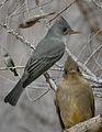 Greater Pewee From The Crossley ID Guide Eastern Birds.jpg