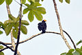 Greater Yellow-headed Vulture 3.jpg