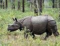 Greater one-horned rhino.jpg