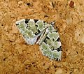 Green Carpet. Colostygia pectinataria. - Flickr - gailhampshire.jpg