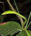 Green Vine Snake Ahaetulla nasuta Amboli by Dr. Raju Kasambe DSCN5160 (8).jpg
