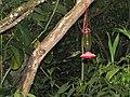 Green Violetear Hummingbirds - Inkaterra Machu Picchu Pueblo Hotel and Nature Reserve - Aguas Calientes, Peru (4876294402).jpg