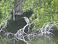 Green heron kiwah (35991067250).jpg