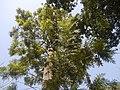 Grevillea robusta (4611172584).jpg