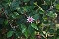 Grewia occidentalis 2.jpg