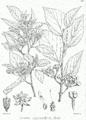 Grewia oppositifolia Bra12.png