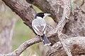 Grey Butcherbird (Cracticus torquatus) (8079679198).jpg