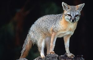 Gray fox - Image: Grey Fox (Urocyon cinereoargenteus)