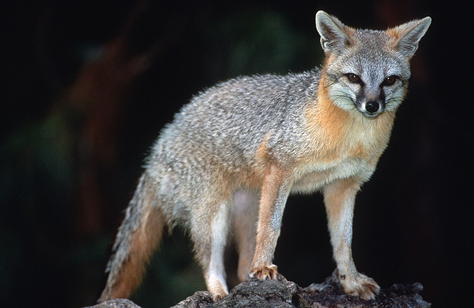 Grey Fox (Urocyon cinereoargenteus)