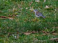 Grey Shrikethrush (21407703776).jpg