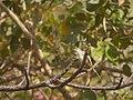 Grey Wagtail, Tungareshwar NP, Maharashtra (8481006523).jpg