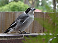 Grey butcherbird 2.jpg