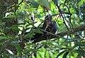 Grey hornbill from Parambikulam T R.jpg