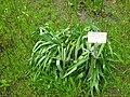 Grindelia squarrosa - Berlin Botanical Garden - IMG 8636.jpg