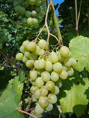 "Muscat (grape) - White Muscat - early ripening ""July"" variety"