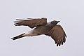 Ground Cuckoo-shrike (Coracina maxima) (8079673924).jpg