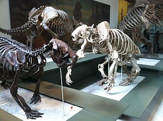 Ground sloth - Fossils of different ground sloths at the American Museum of Natural History in New York