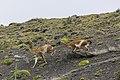Guanaco (Lama guanicoe) - Torres del Paine National Park 21.jpg