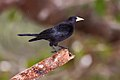 Guaxe (Cacicus haemorrhous) - Red-rumped Cacique.jpg