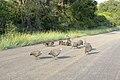 Guinea Fowl (394316440).jpg