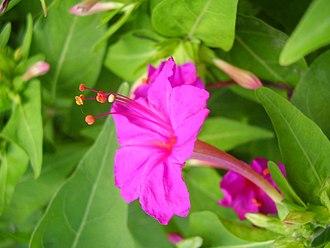 Mirabilis jalapa - Image: Gul Abas 4 O'clock plant