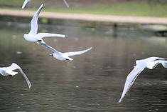 Gulls in flight - February 2009 (3319109602).jpg