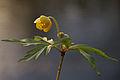 Gulveis - Yellow Anemone (2439502370).jpg
