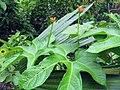 Gurania lobata (17034007197).jpg