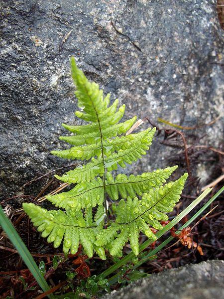 File:Gymnocarpium robertianum, Ireland.jpg