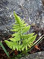 Gymnocarpium robertianum, Ireland.jpg