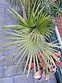 HK 上環 Sheung Wan 卜公花園 Blake Garden plants green 掌狀葉 palm leaves February 2020 SS2 01.jpg