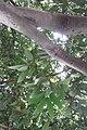 HK CWB 高士威道 Causeway Bay Road 維多利亞公園 Victoria Park tree 木棉樹 Bombax ceiba Sept 2017 IX1 02.jpg