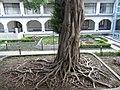 HK Kln Park Hong Kong Heritage Discovery Centre HKHDC garden 02 banyan tree Oct-2012.JPG