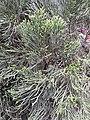 HK SYP 西環 Sai Ying Pun 皇后大道西 409 Queen's Road West 怡景花園 Elegant Garden green leaves flora plant April 2020 SS2 03.jpg