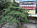 HK TST Urban Council Centenary Garden 欖仁樹 Terminalia Catappa 03 tree crown 幸福中心 Energy Plaza shop signs.JPG