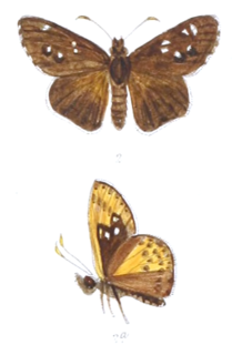<i>Thoressa evershedi</i> species of insect