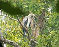 Harpia harpyja - Harpy Eagle. - Flickr - gailhampshire.jpg