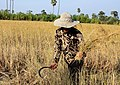 Harvesting the Rice...Cambodia (6042339077).jpg