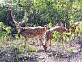 Healthy chital seen in Rajaji Tiger Reserve, AJTJ.jpg
