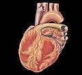 Heart left anterior oblique view.jpg