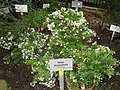 Hebe diosmifolia - Berlin Botanical Garden - IMG 8747.JPG