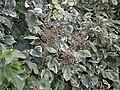 Hedera helix canariensis L. (AM AK291750-3).jpg
