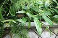 Hedychium horsfieldii (Brachychilum horsfieldii) - Conservatory of Flowers - San Francisco, CA - DSC03075.JPG