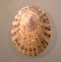 Helcion pruinosus 002