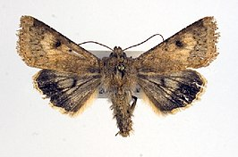 Helicoverpa titicacae.jpg