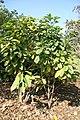 Helicteres guazumifolia 4zz.jpg